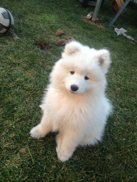 Samoyed Sooo Fricken Cute ωαу тσσ α∂σяαвℓє Pinterest