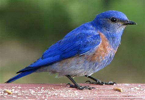 blue birds bluebird animal wildlife