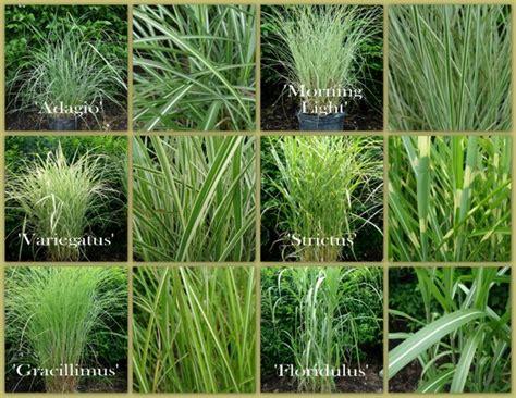 grass variety grasses archives surfing hydrangea nursery inc
