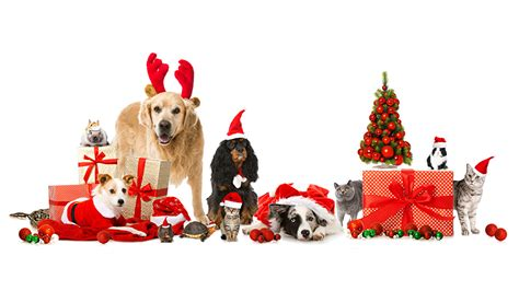 Happy Wallpaper Cats And Dogs by Desktop Wallpapers Border Collie Cats Dogs New Year Winter