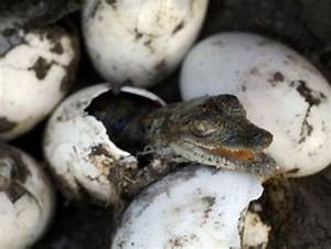 Baby Crocodile and Turtle Hatching | Weird Hut