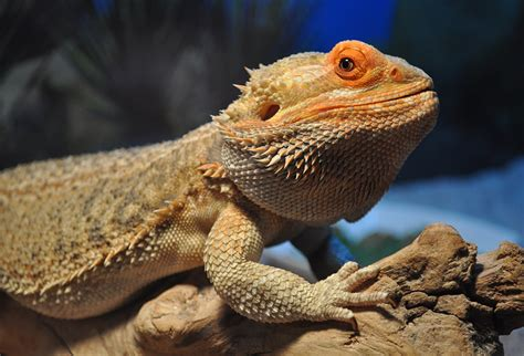 Bearded Feeders by Live Feeder Insects For Bearded Dragons Bearded Care