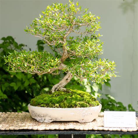 bonsai bemerkenswert bonsai baum schneiden auf umtopfen
