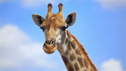 Giraffe Christmas Wallpapersafari Wallpapers