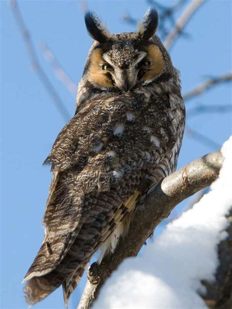 owl long eared chicago botanic garden