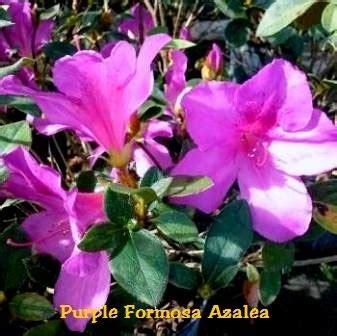 purple formosa azalea rhododendron