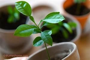 Planter Un Citronnier : planter les graines et noyaux des fruits que l 39 on mange ~ Melissatoandfro.com Idées de Décoration