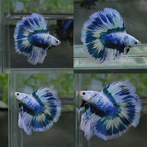 Siamese Fighting Fish - Blue/White Marble Double Tail ...