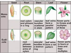 Monocot And Dicot Plants Differ Mainly In Plant Structure