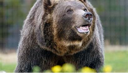 Grizzly Bears Bear Hunting March Yellowstone Xxx