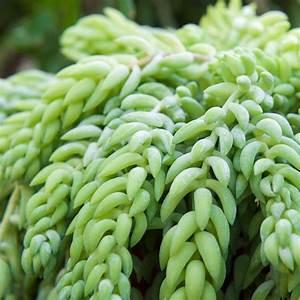 Entretien Plantes Grasses : sedum burrito plante grasse en suspension de 14 cm hauteur 30 cm gamm vert ~ Melissatoandfro.com Idées de Décoration