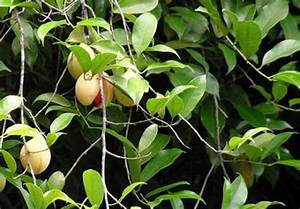 Growing Nutmeg on the Worldwide Gourmet, your food reference
