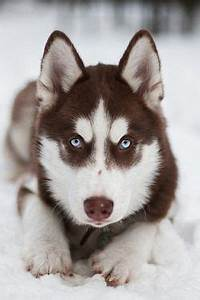 Husky, Siberian huskies and Siberian husky dog on Pinterest
