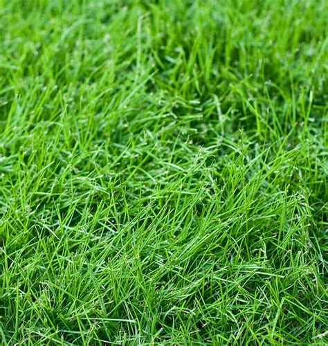 fescue grass types tall fescue turf type