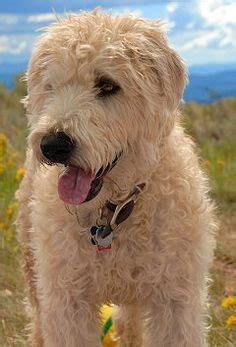 terriers wheaten terrier and terrier puppies on pinterest