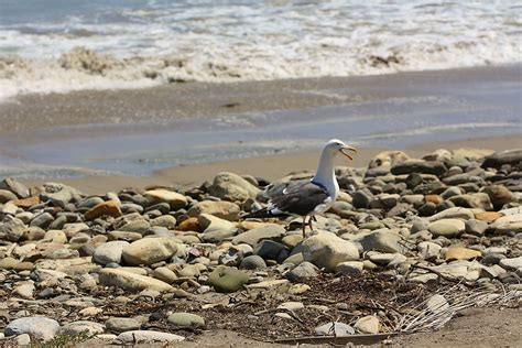 Seagull at Refugio State Beach – Plains Line 901 ...