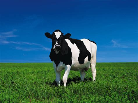 Bull Cow Facts And Pictures