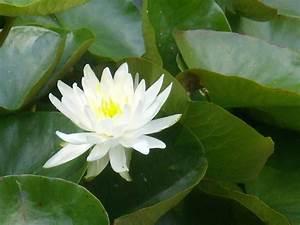 Les Plantes Aquatiques Au Nom De La Rose