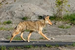 Desert Animals Coyote