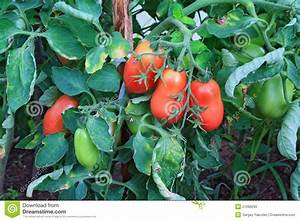 Red And Green Tomatoes Stock Photo - Image: 21089290