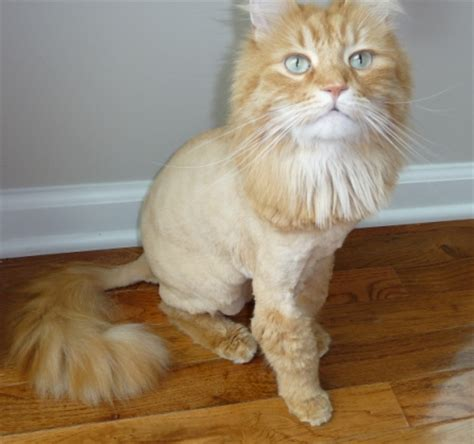 lost orange male  lion cut michigan humane society