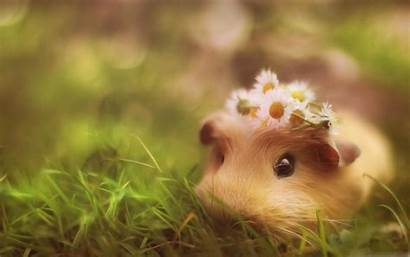 Guinea Pig Wallpapers Android