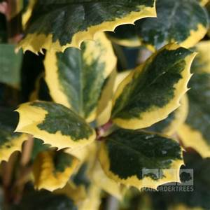 Ilex Golden King : ilex golden king female holly mail order trees ~ Frokenaadalensverden.com Haus und Dekorationen