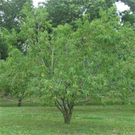 Standard Fruit Trees  Buy Standard Size Fruit Trees From