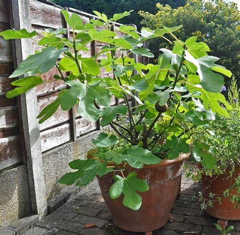 which fruit plants can we grow in pots ask nurserylive ask plant seeds experts for plant