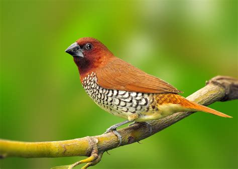 spice finch facts pet care behavior feeding pictures