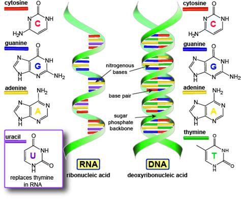 Biology The Genetic Code  Shmoop Biology