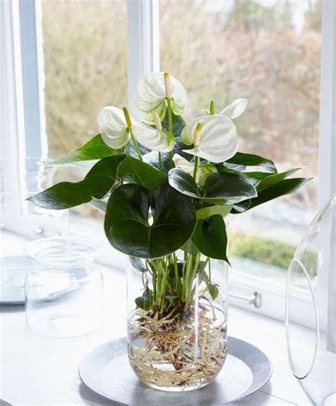 Wasser An Fenster by Anthurie Im Wasser Pflanzen Hydrokultur