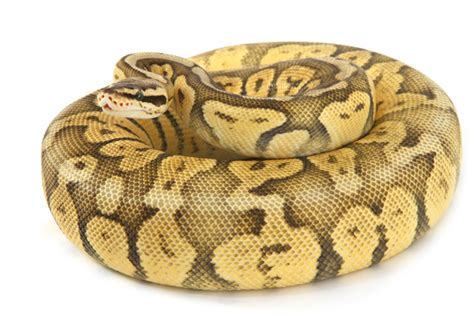 ball python heat l off at night the ever popular and wonderfully colored ball python