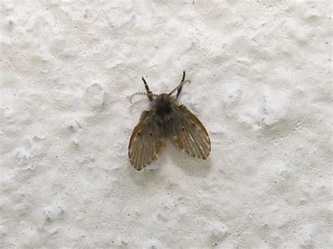 drain flies mid missouri pest information flies steve s pest control
