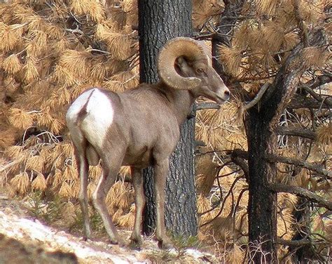 do bighorn sheep shed their horns how does a sheep s horns when to stop growing quora