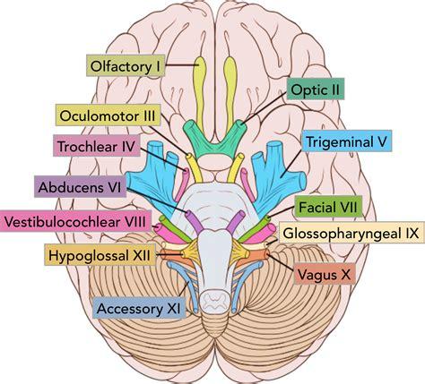summary of the cranial nerves teachmeanatomy