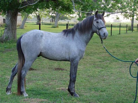 horse grey roan gray colors horses appaloosa face farm tail turning going hands filly oak hill mccurdy animals varnish