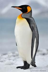 Emperor Penguin Facts For Kids Emperor Penguin Habitat ...