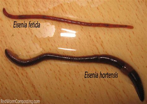 european nightcrawlers eisenia hortensis red worm