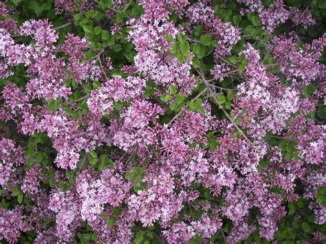 small lilac bush varieties 301 moved permanently