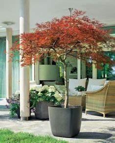 Rhizomsperre Selber Bauen : bambus bambus als k belpflanze pflege pflanzgef e berwinterung terrasse pinterest ~ Watch28wear.com Haus und Dekorationen