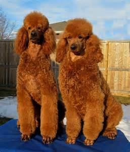 Red Standard Poodle