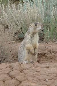 Gunnison's Prairie Dog Population Assessments /Hawks Aloft ...