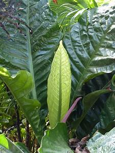 Anthurium, Hookeri, -, Tropical, Looking, Plants, -, Other, Than, Palms