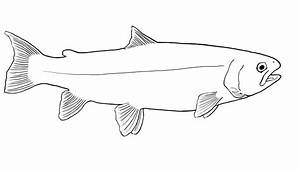 Salmon Outline Drawing images