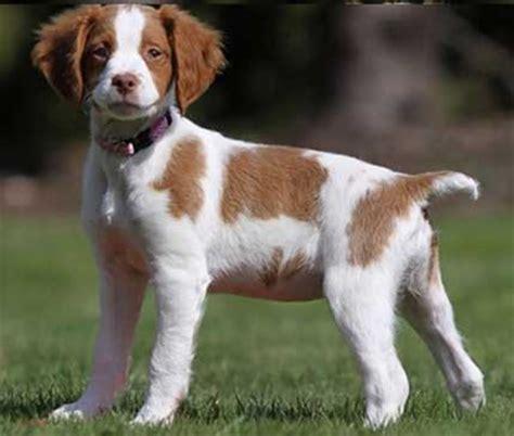 dog breeds small and medium dog breeds purse dog breeds