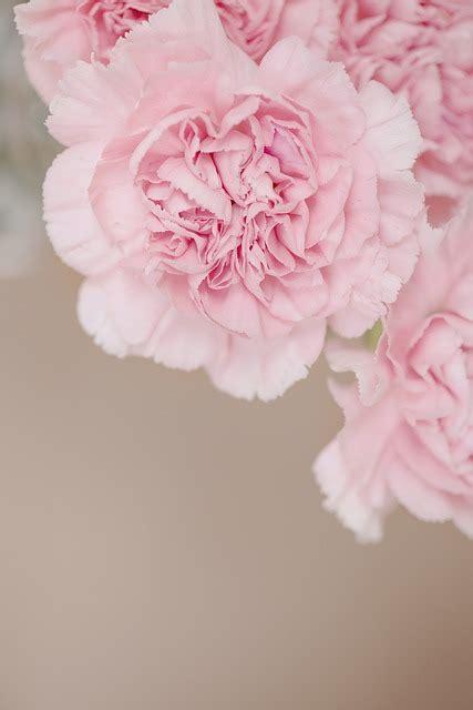 Rosa Blumen by Nelken Blume Rosa 183 Kostenloses Foto Auf Pixabay
