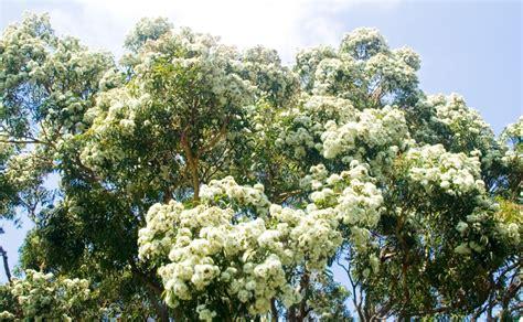 Top Ten Gum Trees - Burke's Backyard