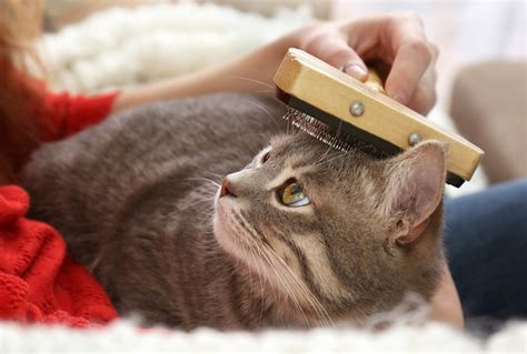 Cat Excessive Shedding by Excessive Shedding In Cats Hill S Pet