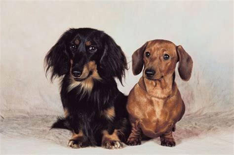 Datsun Puppies by How To Care For A Miniature Dachshund Puppy Pets